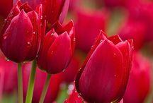 Lale & Tulips