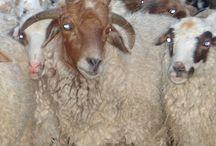 A 4 Horn Sheep