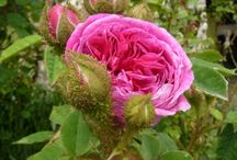 Rosiers mousseux (Rosa centifolia muscosa) / Cette déclinaison des rosiers centfeuilles se caractérise par la présence d'une mousse végétale odoriférante sur les sépales et parfois même à la base des boutons. Populaire à l'époque victorienne.