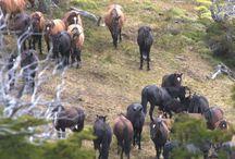 Le Bagual / Comme les mustangs d'Amérique du Nord, les Baguals sont des chevaux de conquistadors complètement retournés à l'état sauvage. Il ne s'agit pas véritablement d'une race équine, mais plutôt d'une population vivant en liberté et portant cette appellation.