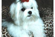 Maltese Love / The ultimate lap dog!