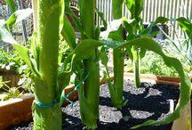 Growing Sweetcorn / Advice and guidance on growing sweetcorn