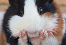 Gineau pigs / Hey