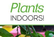 Grow Delicius Citrus Plants Indoors