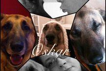 Min himmel hund / Osker min elskede hund..❤️ Huskede og savnede og en man kunne putte med min bamse bjørne, schæfer rum hund..❤️