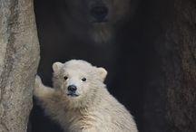 Oud en jong; beren / ouderberen met hun jong