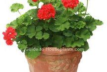 geraniums growing
