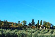 Olive Harvest 2017