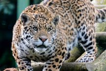 Jaguars. / Did you know Big cats like jaguars have the best 3-D vision of all carnivores, which helps them gauge distances when jumping.