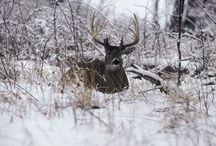 whitetail deer management