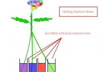 rainbow rose how to