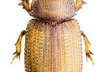 glaresidae