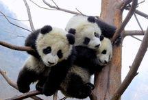 Panda bear lover