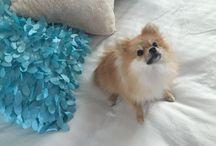 Chanel, pomerania / Mi bebe es un Pomerania de 10 meses, hembra adorable