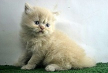 PERSIAN CATS - Bullcanes.net