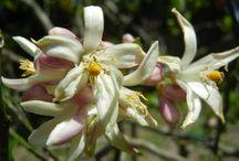 Citrus Blossoms & Fruit / Oranges, lemons, honeybells, tangerines, and other South Florida citrus fruits - many homegrown.