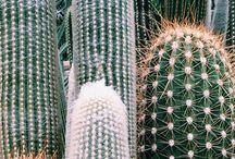 Cacti Obsessed