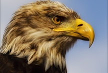Eagles / He clasps the crag with crooked hands; Close to the sun in lonely lands, Ring'd with the azure world, he stands The wrinkled sea beneath him crawls; He watches from his mountain walls, And like a thunderbolt he falls.  (The Eagle  by Alfred, Lord Tennyson)   / by Adeline Nobel