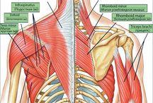 Izmok, anatómia