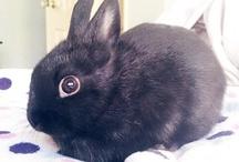 My netherland dwarf - house bunny