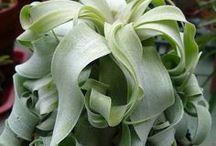 Tillandisa - Luftpflanzen