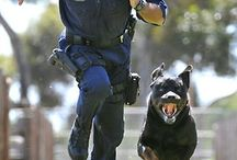 Working Rottweilers
