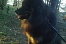 "FI CH EE CH LV CH TLNW-16 Pörröpöksyn Vonkamies ""Vilppu"" / Finnish Lapphund"