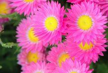 Australian Ag - Flowers