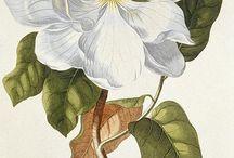 18th century flora botanica illustration / sofi -