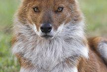 Dyr!❤️ / Elsker dyr...special rævene hunde!❤️