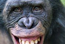 chimp laughter