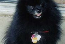 Black Pomeranians / Cute black pomeranians / by Jennifer Henderson
