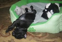 Baby Pug / Baby Pug Edie the Pug
