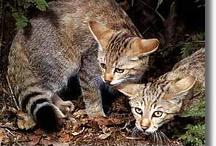 Asiatic wild cat