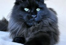 Maine coon / Beautiful Maine coons
