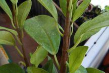 camino al bonsai / petits progressos dels meus petits, pequeños pasos de pequeñas plantas