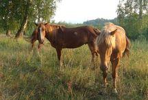 Le Bashkir / Les origines du cheval Bashkir ne sont pas connus. Au XIXème siècle, sa valeur économique a été reconnu, et des mesures ont été prises pour accroître à la fois ses capacités de travail et ses qualités traditionnelles comme un producteur de lait et de viande.