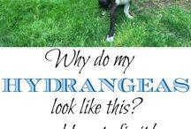 Hydrangean