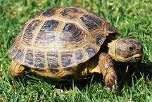 Turtle/Tortoise