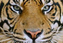 tigre ojos