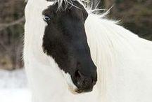 Cavalos exoticos