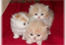 İran kedileri