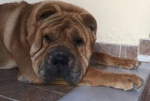 Shar pei / Sharpei , he's name is Roscos !  He is from Greece , Athens
