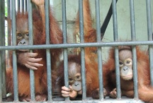 Quarantine of Orangutans / In North Sumatra we have the only Quarantine Centre which helps health screen and prepare orangutans before they are released back to the wild