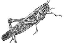 grshopper