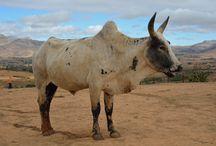 Les zébus de Madagascar / Le mot zébu vient du tibétain « zeba » signifiant étymologiquement « bosse ».
