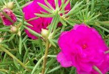 flores do sol