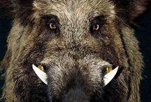 warthog animal