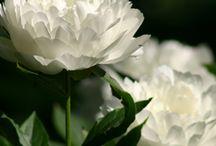 BLOOM | Herbaceous Late / LATE BLOOMING HERBACEOUS PEONIES