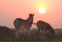 Sunset Safari / Prizinski Family